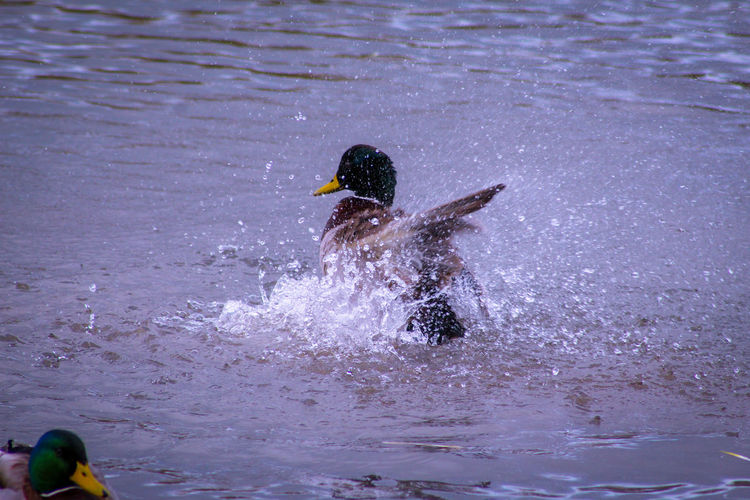 Preening Feathers EyeEm Best Shots EyeEm Nature Lover EyeEmBestPics EyeEm Best Shots - Nature Beauty In Nature Wonders Of Nature Bath Time Splashing Droplet Malard Duck Duck Feather  Male Animal Lakeside