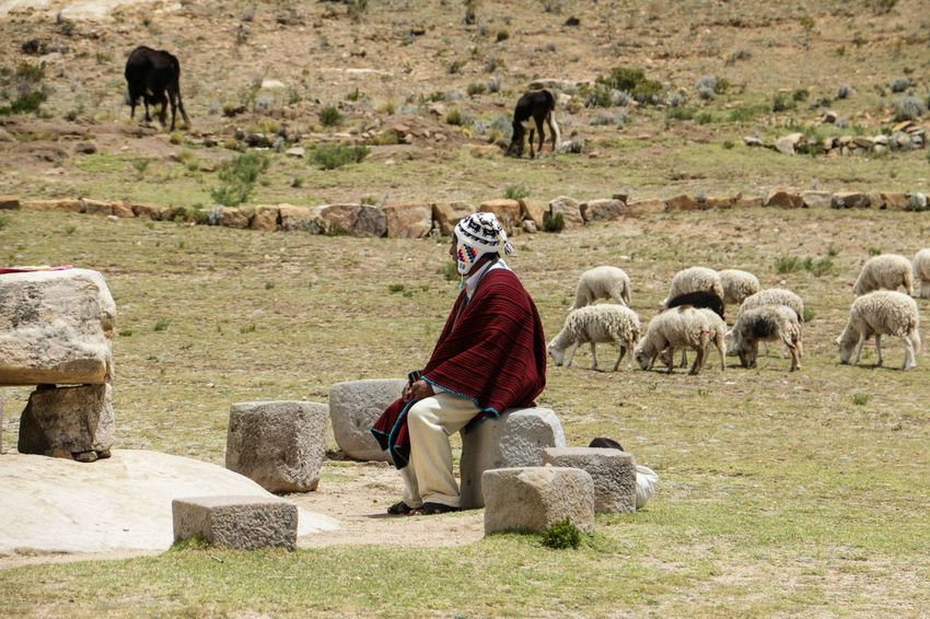 Chaman Chaman Bolivia Isladelsol Sheep Pets Rural Scene Flock Of Sheep Agriculture
