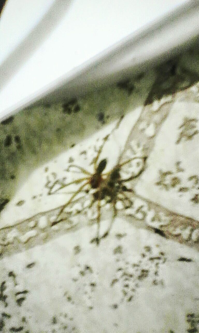 one animal, insect, animals in the wild, animal themes, spider, close-up, animal wildlife, day, no people, outdoors, nature