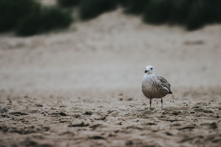 Seagull perching on a field