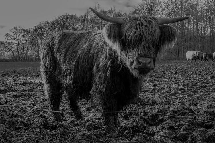 Agriculture Animal Themes Day Domestic Animals Field Highland Cattle Livestock Mammal Nature No People One Animal Outdoors Sky Steak! #cow #caddle #scottishcaddle #horn #field #meatballs #meat #hungry #mud #hair #model #you #thatlook #ohyeah #gangster #wassup #blackandwhite #grey #nose #big #fat #boss #weight #photography #alltime #hello