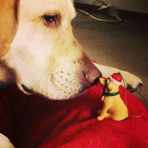 Labrador Christmastime