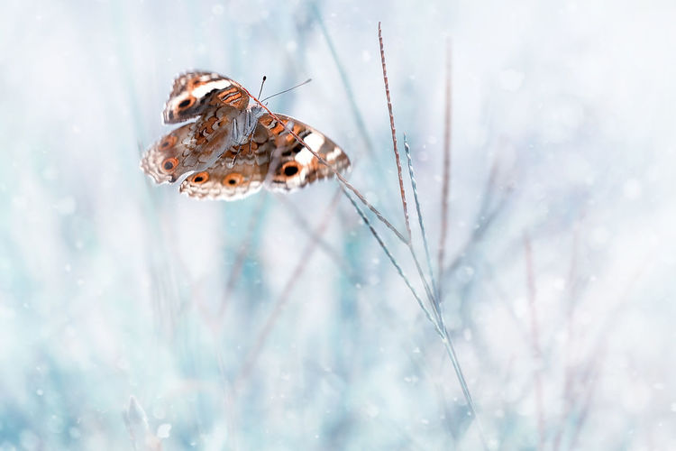 Close-up of butterfly on snow, painted lady vanessa cardui