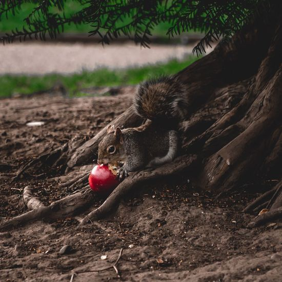 CIRCLE Of LIFE Survival Surviving Food Mammal Summer Spring Adorable Park Squirrel Hungry Apple Finding Wildlife & Nature Plant Land Food No People Nature Day Food And Drink Field Growth Fruit Healthy Eating Tree Outdoors Freshness Wellbeing