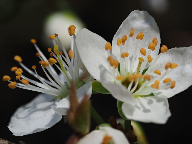 Cherry Blossom Beauty In Nature Black Background Botany Cherry Tree Close-up Day Flower Flower Head Flowering Plant Fragility Freshness Growth Inflorescence Nature No People Petal Plant Pollen Selective Focus Stamen Vulnerability  White Color