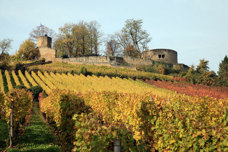Autumnal vineyard below castle ruin Weibertreu in Germany Agriculture Architecture Autumn Beauty In Nature Building Exterior Built Structure Castle Fall Germany History Nature No People Outdoors Ruin Rural Scene Scenics Sky Tourism Travel Travel Destinations Vacations Vineyard Weibertreu Wine Winemaking
