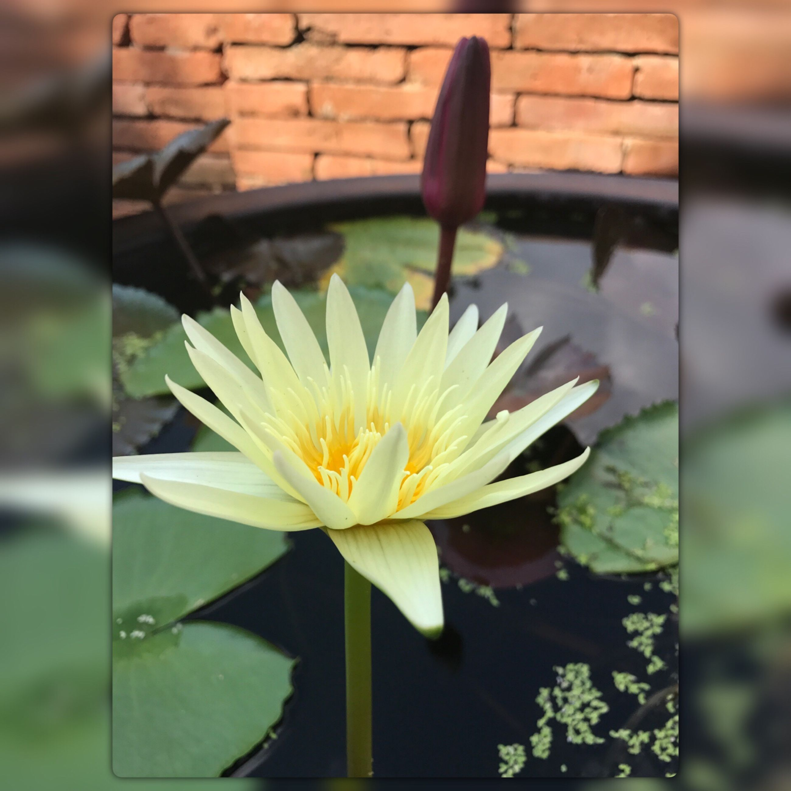 flower, freshness, fragility, petal, water, flower head, beauty in nature, water lily, lotus water lily, nature, lily pad, floating on water, leaf, lotus, lake, plant, close-up, growth, blooming, pollen, no people, day, outdoors