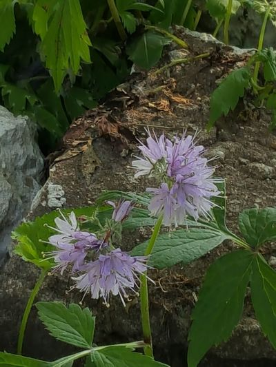 Purple Flower Nature Plant No People Leaf Outdoors Summer Growth Beauty In Nature Beauty Day Freshness Flower Head Thistle Water Close-up
