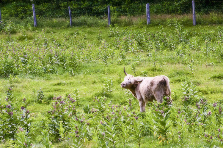 Maine Cow Animal Themes Beauty In Nature Day Domestic Animals Field Grass Green Color Growth Landscape Livestock Mammal Nature No People One Animal Outdoors Plant