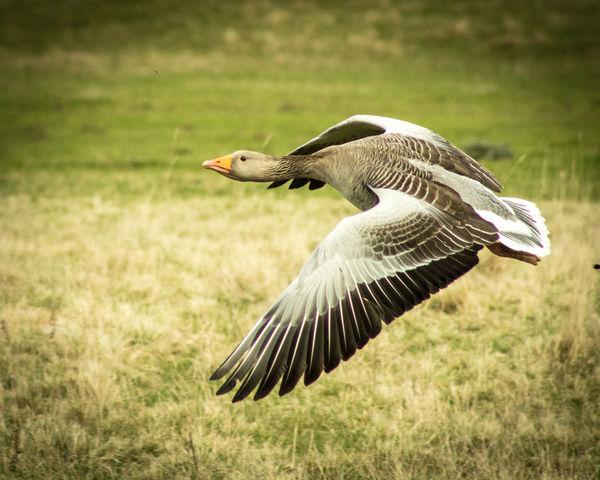 Greylag goose in flight. Animal Themes Bird Bird In Flight Birds In Nature Close-up Day Flying Grass Greylag Goose Nature No People One Animal Outdoors Spread Wings First Eyeem Photo