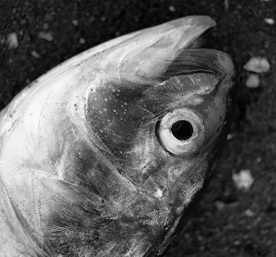 GM 1 macro lens take. Marine Park Salt Water Preserve Spring 2016 Macro Macrophotography 1to1 Closeup Photography Nycphotography Perspective Fish MonochromePhotography Blackandwhitephotography Life Death Nyclife Streetdocumentary Naturephotography Travels Nycneighborhoods MarinePark Marineparksaltmarsh Brooklyn NYC Newyork Ricohgr GM1 RicohGRGM1 ricohimages @ricohimages