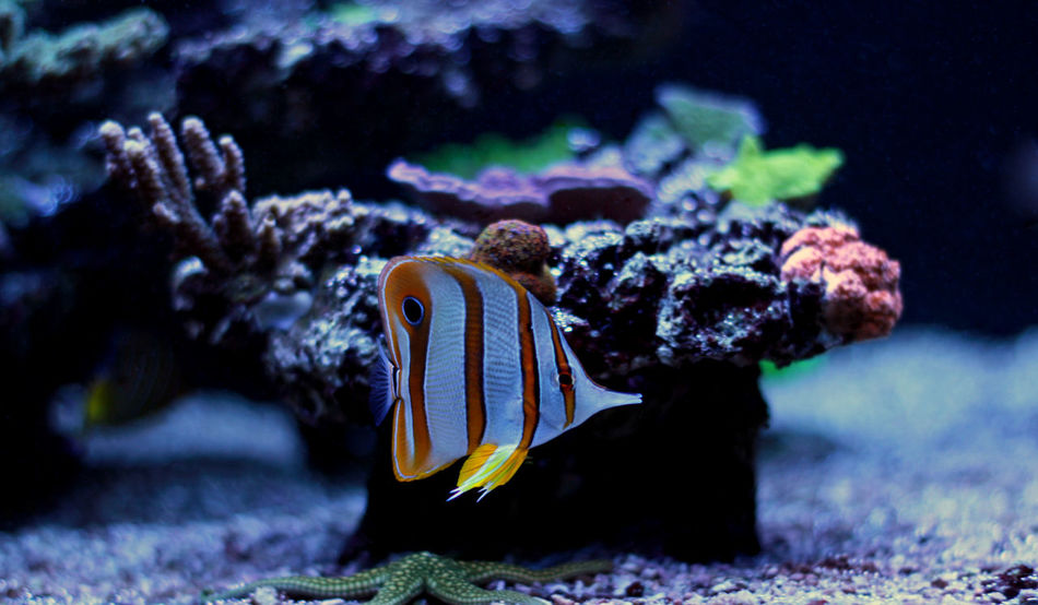 Animal Themes Animal Wildlife Animals In The Wild Aquarium Beauty In Nature Close-up Coral Fish Nature No People One Animal Outdoors Aquarium Fish Copperband Butterflyfish Copper-banded Butterflyfish Butterflyfish Close Up Underwater PhotographySea Sea Life Swimming UnderSea Underwater Water EyeEmNewHere