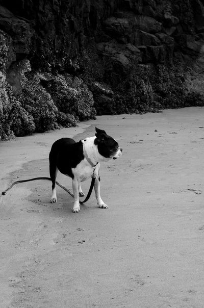 Black And White Collection  Travel I Love My Boston Terrier Oregon Oregon Coast Travellingwithmylove Blackandwhite Photography Summer Dogs Beachphotography Dog Love The Tourist TakeoverContrast Monochrome Photography