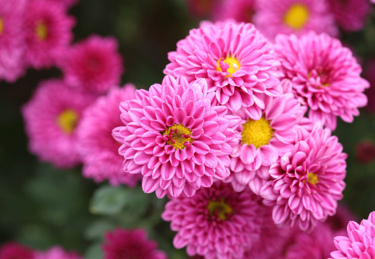 Chrysanthemum Pink Flower Background Beautiful Color Flowers Nature Floral Petal Autumn Bloom Pattern Plant Garden Summer Blossom Botany Closeup Season  Flora Bouquet Beauty Green Gardening Purple Spring Bud Decoration Macro Bright Blooming Fresh Day Romantic Close Vibrant Violet Outdoor Romance Red Pretty Holiday Leaf Up Valentine Delicate Colorful White Thailand