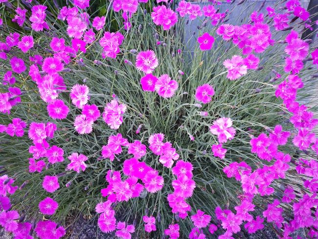 Beauty In Nature Blooming Close-up Day Flower Flower Head Fragility Freshness Growth High Angle View Nature No People Outdoors Pink Color Plant