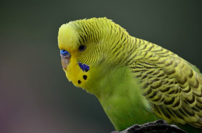 Colorful budgie bird Animal Themes Bird Budgerigar Budgie Budgies Colorful Day Nature No People Pjpink