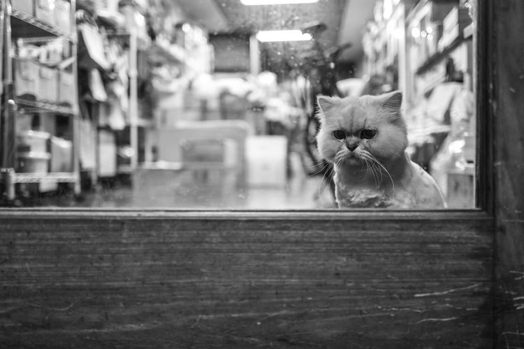 Tainan, Taiwan Animal Animal Head  Animal Themes Cat Domestic Domestic Animals Domestic Cat Feline Focus On Foreground Glass - Material Indoors  Looking At Camera Mammal No People One Animal Persian Cat  Pets Portrait Selective Focus Transparent Vertebrate Whisker Window
