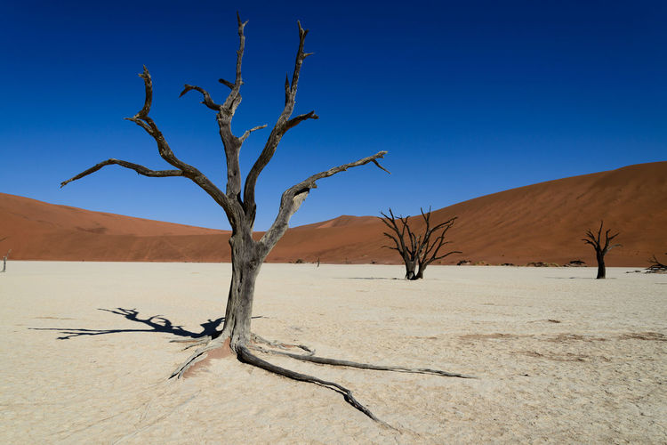 Bare tree on sand against clear blue sky