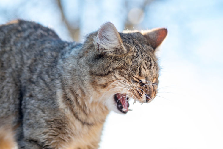 Close-Up Of Cat Yawning During Winter