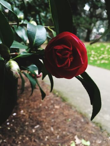 Plant Red Close-up Growth Nature No People Leaf Day Outdoors Beauty In Nature Hanging Flower Petal Flowering Plant