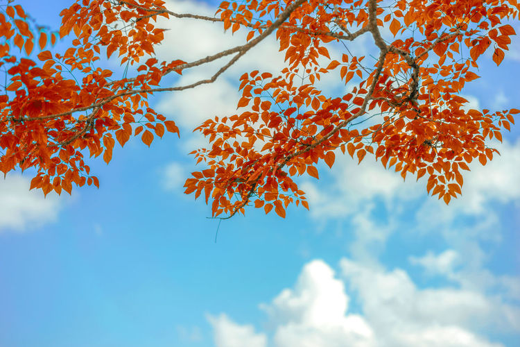 Low angle view of autumn leaves against sky