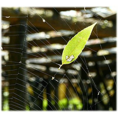 💚 風に揺れる蜘蛛の巣🎶☺🎶Spider's web that sway in the wind ※ 蜘蛛の巣 Spider 'sWeb 捕まえる Catch 葉っぱ Leaf 日本 Japan 自然 Natur 綺麗 Beautiful 癒し Comfort 休息 Rest 安らぎ Peace Happiness Positivity 😚 View_Japan_nagoya_mitu