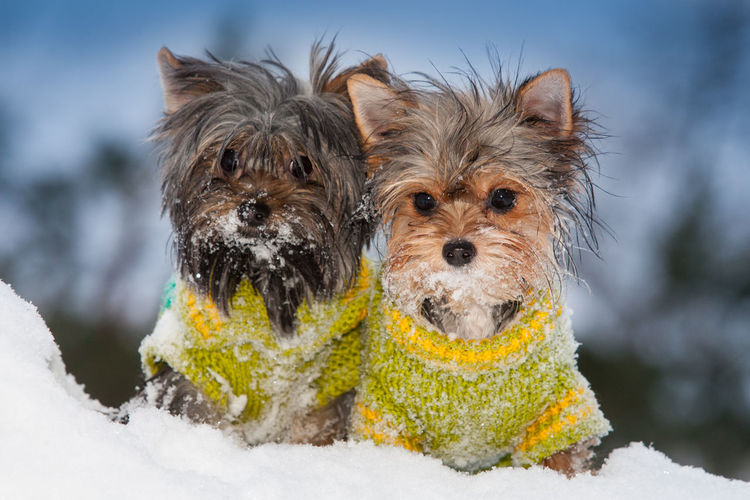 Dog Canine Snow Mammal Animal Domestic Winter Cold Temperature Pets Portrait Lap Dog Nature Day No People Small Yorkie Biewer Biewer Yorkshire Terrier Biewer Terrier Sweater Dogs In The Snow Dogs In Sweaters Two Dogs Yorkshire Terrier Dressed Up 50 Ways Of Seeing: Gratitude