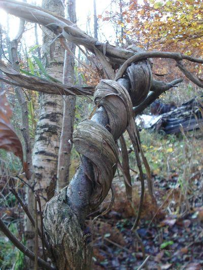 Forest Walk Gartengeißblatt Lianen Lonicera Caprifolium Schlange  Schlingpflanzen🌾 Beauty In Nature Forest Nature No People Outdoors Tree