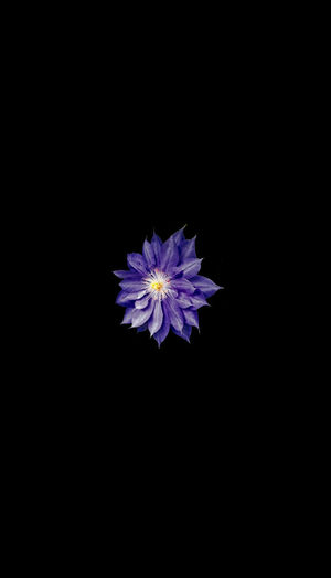 14 X 8 Live Area Black Background Flower Flowering Plant Inflorescence No People Purple Small Image
