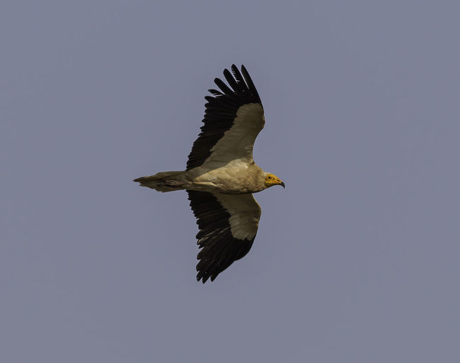 Animal Wildlife Animals In The Wild Bald Eagle Bird Day Egyptian Vulture European Birds Flying Neophron Percnopterus No People Outdoors Sky Spread Wings Western Palearctic
