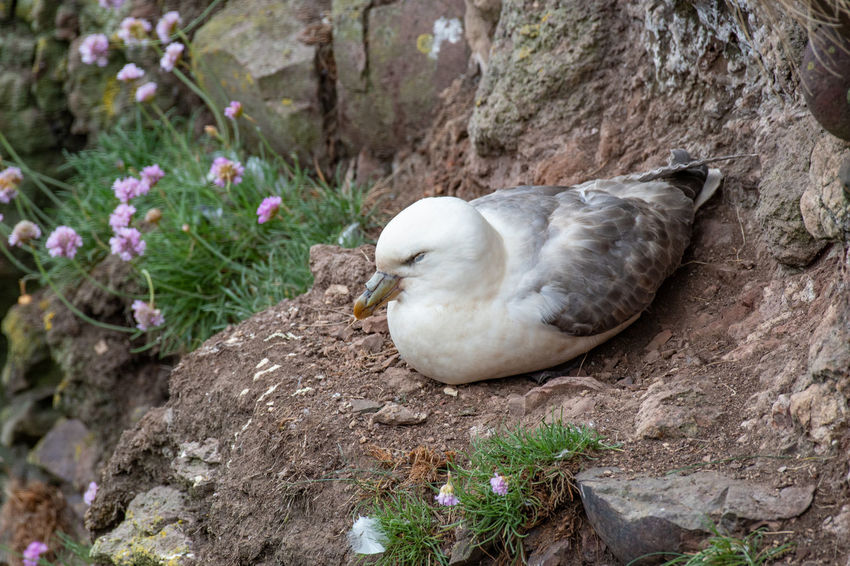 Fulmar (Fulmarus glacialis) nesting on a cliff edge Fulmar Animal Wildlife Animals In The Wild Beauty In Nature Bird Close-up Day Fulmarus Glacialis Nature No People One Animal Outdoors Plant Relaxation Rock Rock - Object Solid Tree Vertebrate