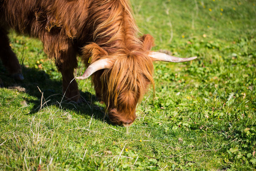 Mammal Animal Themes Animal Grass Domestic Animals Domestic One Animal Pets Plant Livestock Field Vertebrate Nature Cattle Land Green Color Animal Hair Brown No People Grazing Highland Cattle Outdoors Animal Head  Herbivorous