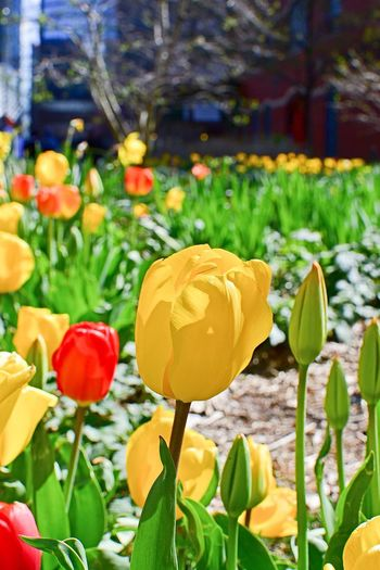 Yellow Flower Tulip Yellow Tulip Leaf Plant Part Plant Freshness Growth Yellow Close-up Beauty In Nature No People Green Color Nature Focus On Foreground Food Flowering Plant Flower Day Outdoors
