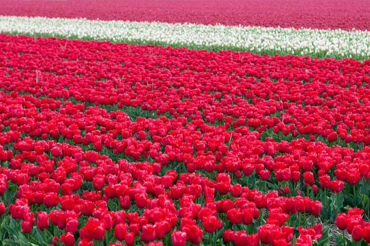 Tulip field Agriculture Flower Field Netherlands Tulips Agronomy Beauty In Nature Biology Colorful Flower Flower Growing Growth Keukenhof Nature No People Outdoors Pink Color Purple Flower Purple Tulip Red Tulips Triumph Tulips Truimph Tulip Tulip Fields Tulip Love Tulips🌷