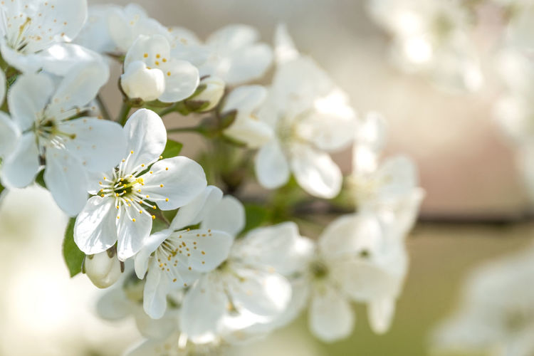 Plant Flowering Plant Flower Beauty In Nature Fragility Vulnerability  Freshness White Color Close-up Petal Blossom Growth Springtime Nature Inflorescence Day No People Focus On Foreground Tree Flower Head Pollen Outdoors Cherry Blossom Bunch Of Flowers Copy Space