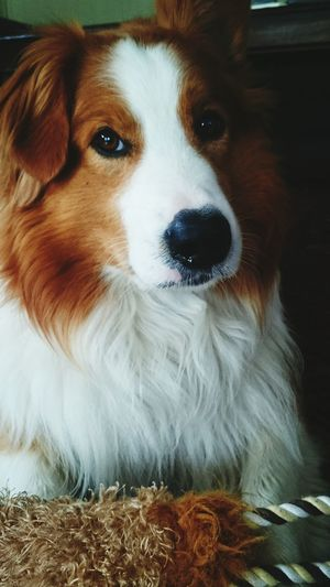 Theo the Tollermix! Toller Tag♥ Border Collie DogLife❤️🐶 Nova Scotia Tolling Retriever Norway Dog❤ Pretty Eyes