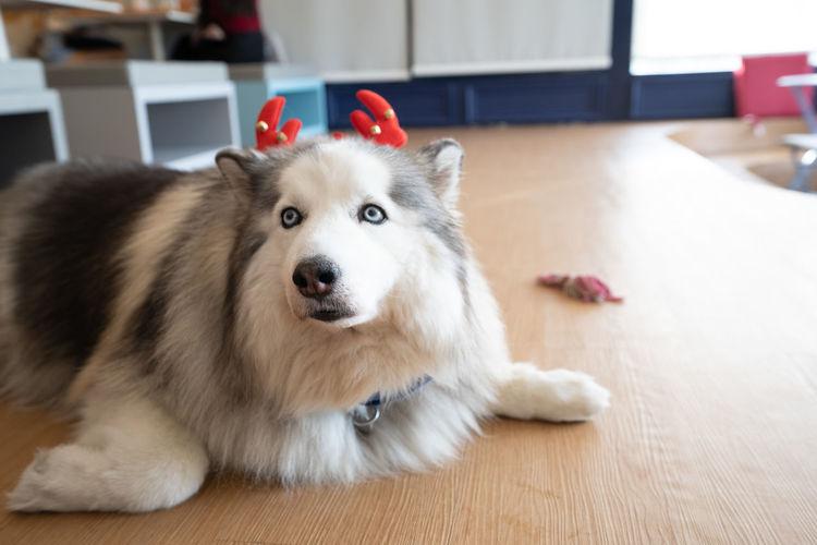 Dog xmas Pets