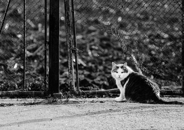 Cat and a hole in the fence Cat Animal Fence Black And White Spotted Fatty Looking At Camera Bw Road Cat Lovers Catlady Depth Of Field No People