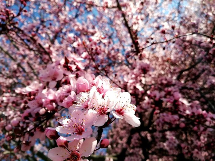 welcome spring Springtime Welcom Spring Good Times Flower Head Tree Flower Branch Springtime Plum Blossom Pink Color Petal Blossom Botany