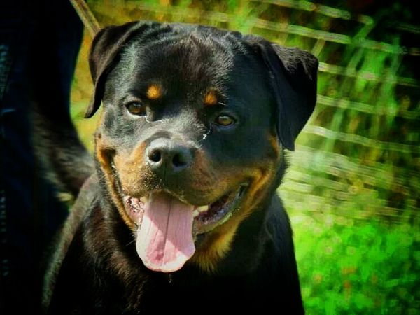 Animal_collection Rottweiler Dog Love MyLove❤