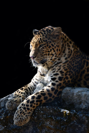 the leopard The Great Outdoors - 2018 EyeEm Awards Eyeemawards2018 EyeEmNewHere 2018 EyeEm Photography Nikonphotography Animal Leopard Bigcat Wild Nikon Nikonphotography Light And Shadow Uttarakhand EyeEm Best Shots ASIA Evm Contest EyeEm Selects Leopard Black Background Feline Spotted Wilderness Area Beauty Animals Hunting Big Cat Cat Family