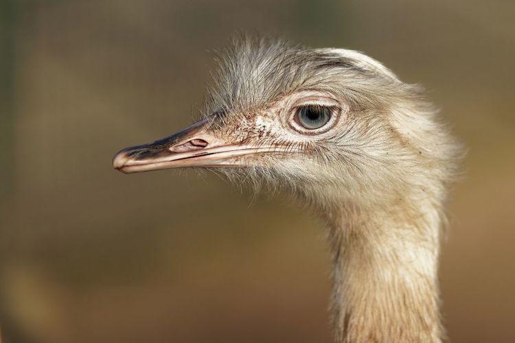 Animal One Animal Animal Themes Bird Animal Wildlife Vertebrate Ostrich Animal Head  Looking Away Eye