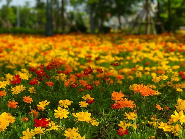 Garden of multi-colored flowers #2 Blurred Background Flower Flowering Plant Plant Freshness Beauty In Nature Growth Fragility Vulnerability  Yellow Field Flower Head Nature No People Close-up Focus On Foreground Marigold Day Petal Inflorescence