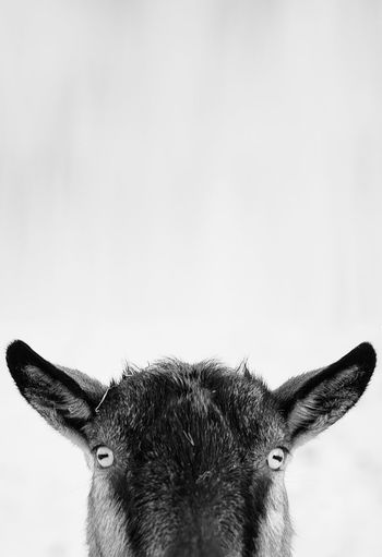 Close-up of goat's face