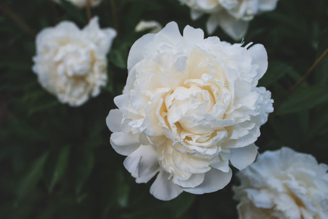 Peonies Beauty In Nature Close-up Flower Flower Head Flowering Plant Focus On Foreground Nature No People Outdoors Peony  Peony Blossom Petal Plant White Color