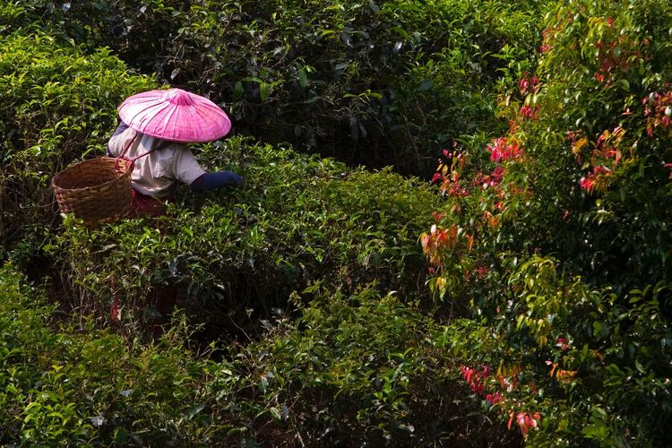 Tea Pluckers Tea Farmers Plucking Tea Leaves People Hat Colorful INDONESIA Tea Picking Tea Travel Photography Travel Traveling Eyeem Market EyeEm Best Shots EyeEm Best Edits EyeEmBestPics