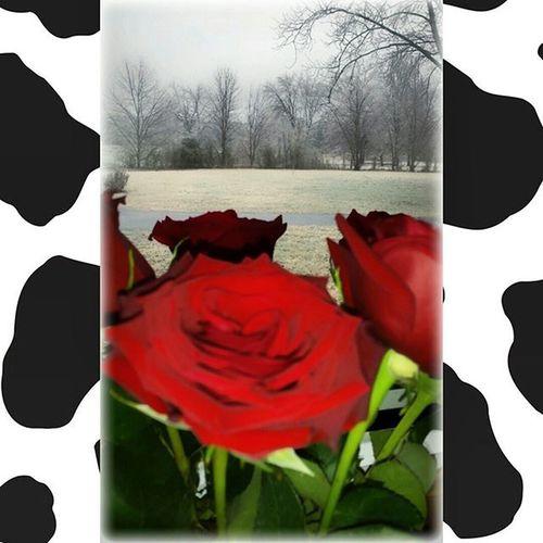 Ugly, gloomy day outside, but my roses are still beautiful 🌷 Iceisnofun Whereisthesnow Lockinatmyhouse Boyseverywhere Findthegood