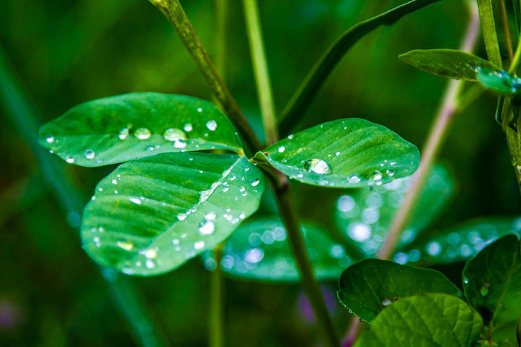 Beauty In Nature Close-up Clover Day Dew Drop Focus On Foreground Freshness Green Color Growth Leaf Leaves Nature No People Outdoors Plant Plant Part Purity Rain RainDrop Rainy Season Water Wet