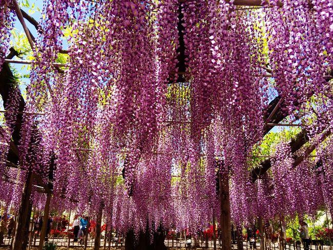 Wisteria Ashikaga Flower Park Travel Destination 9 Places Of The World Of Dream Japan EyeEm Flower Flower Flowers Purple 2015.4.30. あしかがフラワーパーク 大藤満開ですよ〜💜✨ 凄すぎる〜 世界の夢の旅行先9ヶ所選出✨