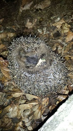 IGEL Animal Photography Igel Autumn Animals Sweety  Little Small So Happy Autumn 2015 Autumn Colors